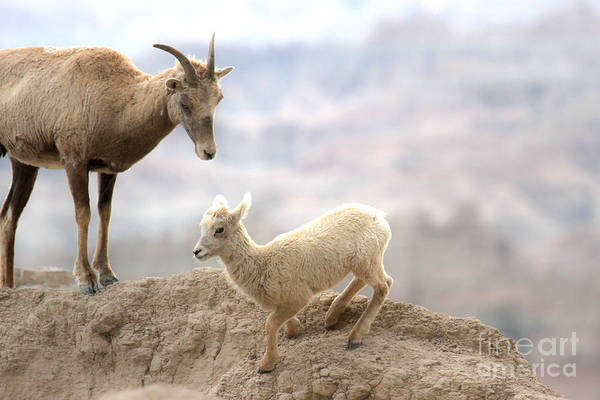 Photograph - Bighorn Mom And Junior by Adam Jewell