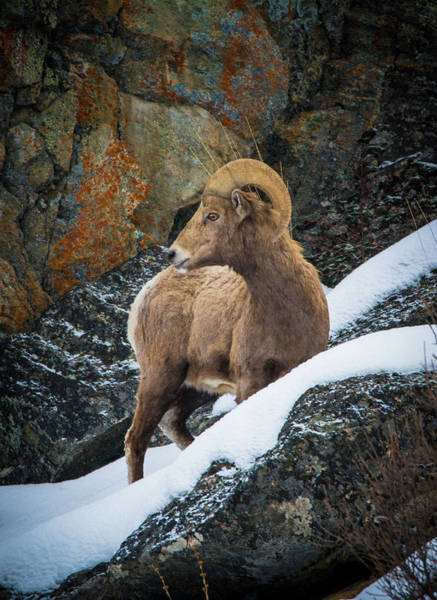Photograph - Bighorn Ram 1 by Jason Brooks