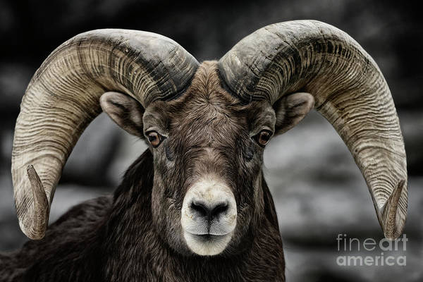 Photograph - Ram Tough by Brad Allen Fine Art