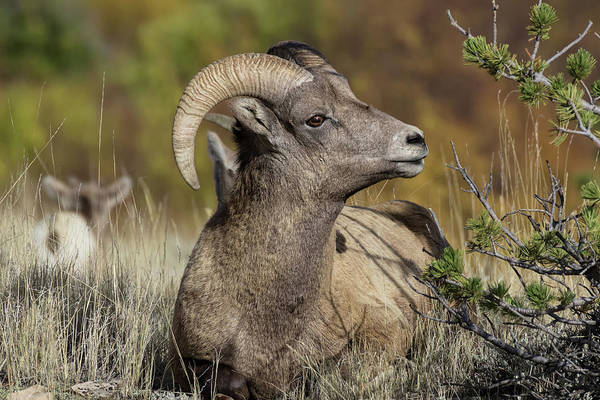 Wall Art - Photograph - Bighorn Ram Kicking Back by Kathleen Bishop