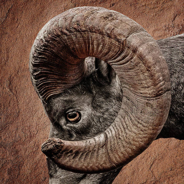 Photograph - Bighorn Ram Up Close by Wes and Dotty Weber