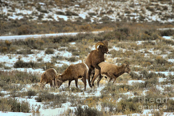 Photograph - Bighorn Reproduction by Adam Jewell