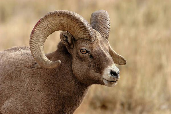 Photograph - Bighorn by Ronnie and Frances Howard
