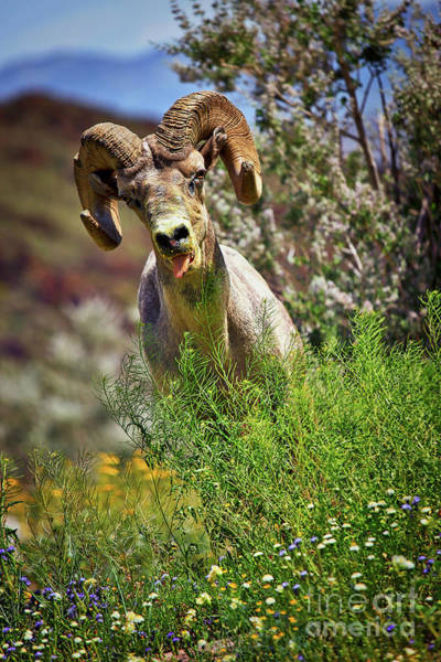 Photograph - Bighorn Sheep And Wildflowers In Anza Borrego Desert State Park by Sam Antonio Photography