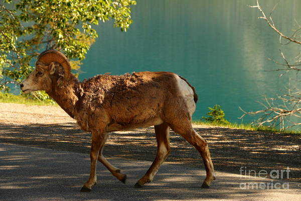 Wall Art - Photograph - Bighorn Sheep At Lake  Minnewanka by Christiane Schulze Art And Photography