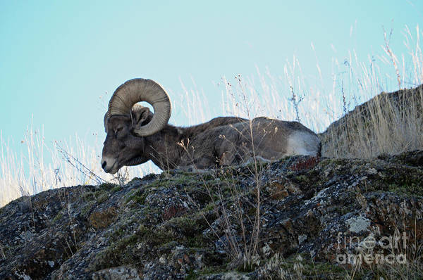 Photograph - Bighorn Sheep by Cindy Murphy - NightVisions