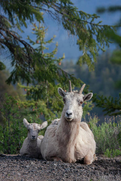 Photograph - Bighorn Sheep Family by Mark Miller