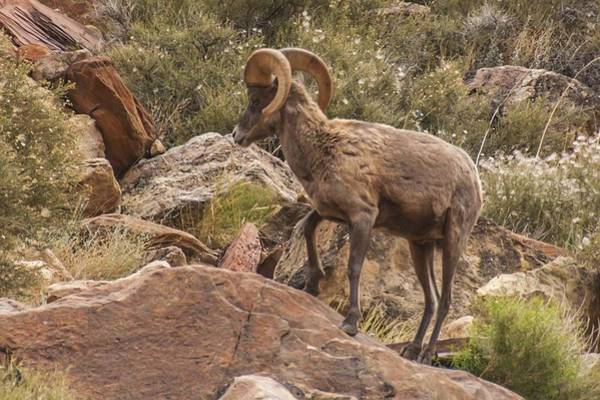 Photograph - Bighorn Sheep In Grand Canyon by NaturesPix
