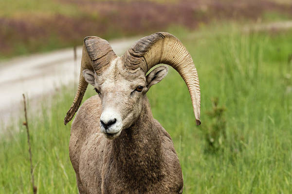 Wall Art - Photograph - Bighorn Sheep In The National Bison Range by John Trax