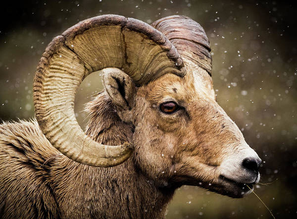 Photograph - Bighorn Sheep In Winter by TL Mair