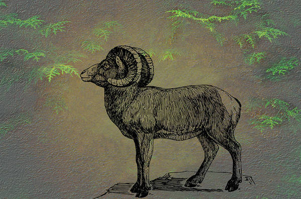 Bighorn Sheep  Art Print