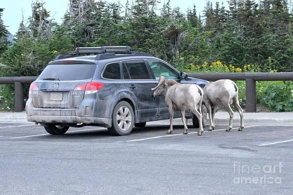 Photograph - Bighorn Sheep Ram A Subaru by Adam Jewell