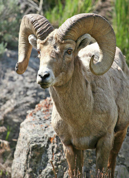 Photograph - Bighorn Sheep by Wesley Aston
