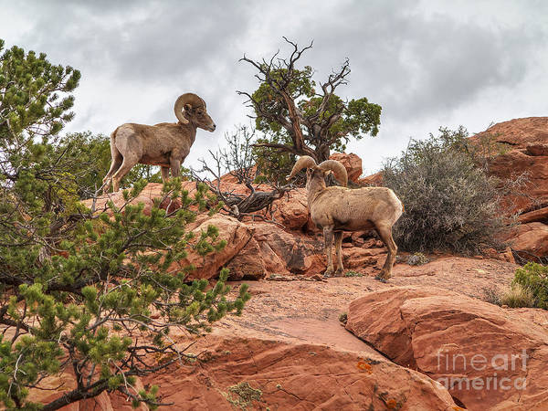 Photograph - Bighorns by Spencer Baugh