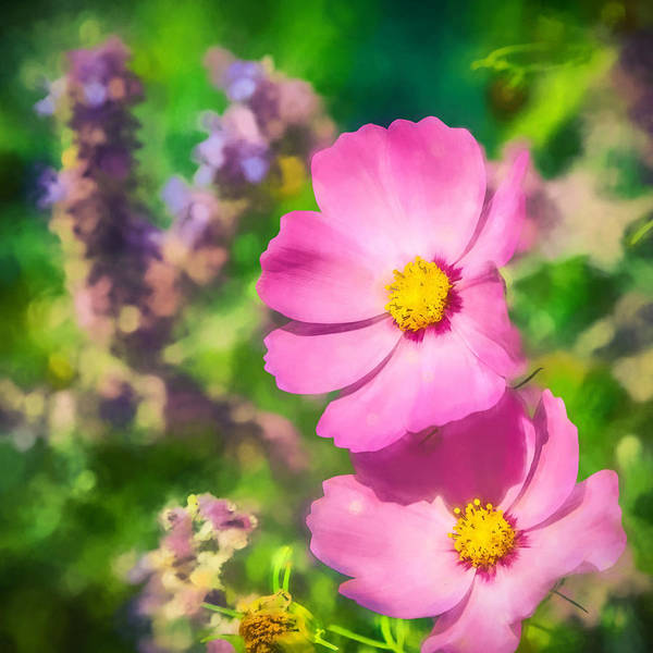 Photograph - Bright Pink Cosmos by Eleanor Abramson