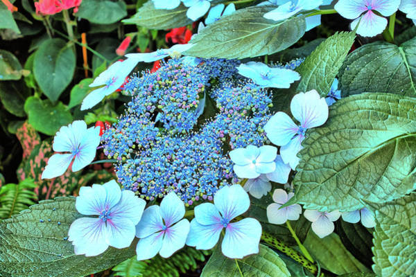 Photograph - Bigleaf Hydrangea by Richard Goldman