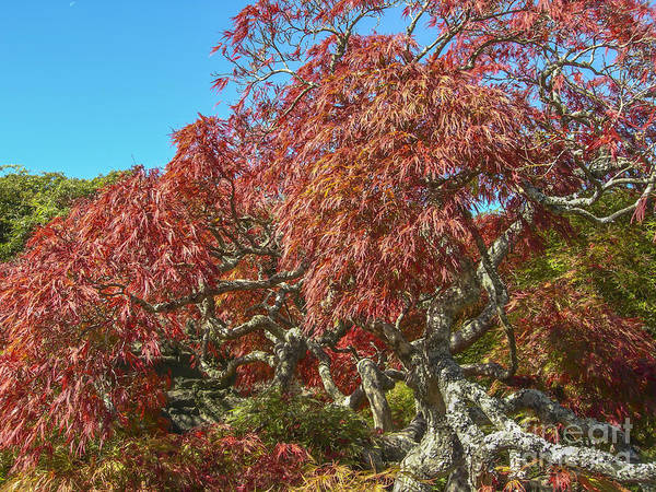 Photograph - Biltmore Estate Japanese Maple Tree  by Dale Powell