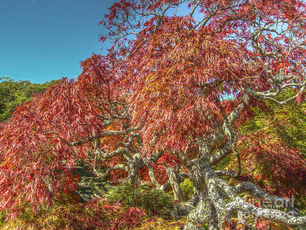Photograph - Biltmore Japanese Red Maple by Dale Powell