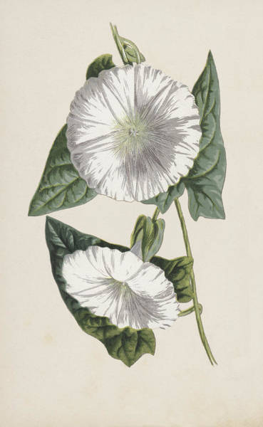 Convolvulaceae Wall Art - Painting - Bindweed by Frederick Edward Hulme
