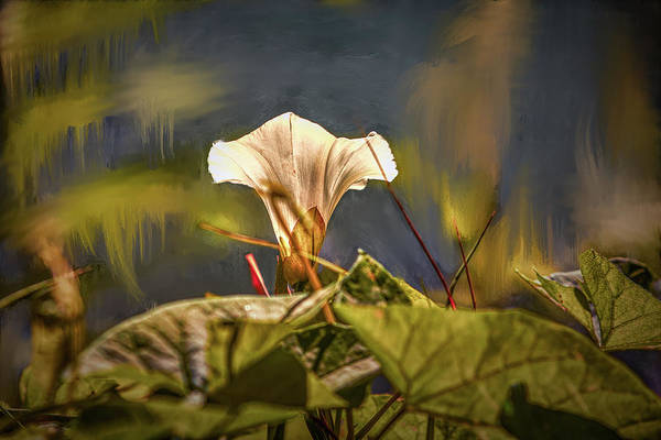 Photograph - Bindweed In Dream #g5 by Leif Sohlman