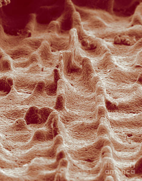 Biomimetics Wall Art - Photograph - Biomimicry, Ceramic Mimics Mother by Science Source