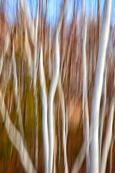 Photograph - Birch Abstract No. 5 by Denise Bush
