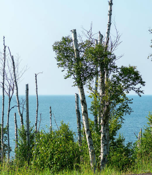 Photograph - Birch And Lake Superior by Sally Sperry