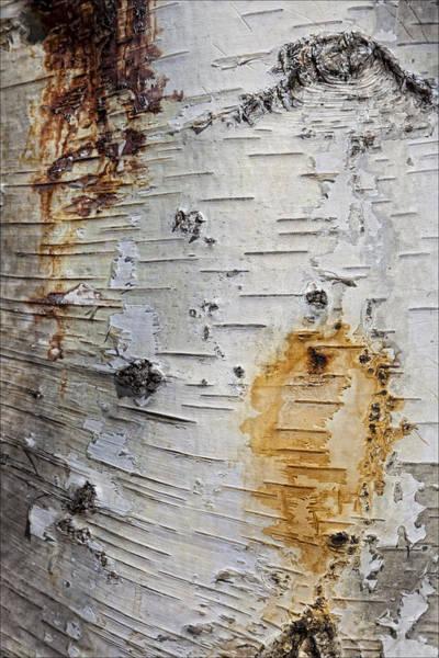 Birch Bark 2 Art Print