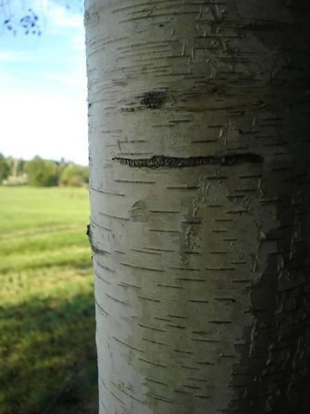 Laura Palmer Wall Art - Photograph - Birch Bark by Laura Palmer