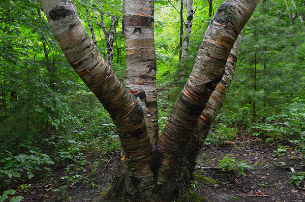 Photograph - Birch Bark Tree Trunks by SimplyCMB