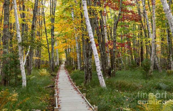 Photograph - Birch Boardwalk by Karin Pinkham