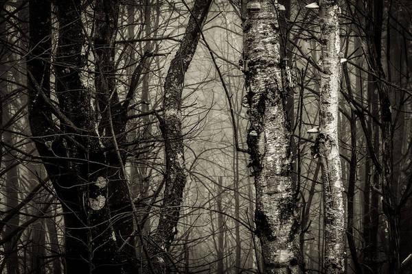 Photograph - Birch by Bob Orsillo