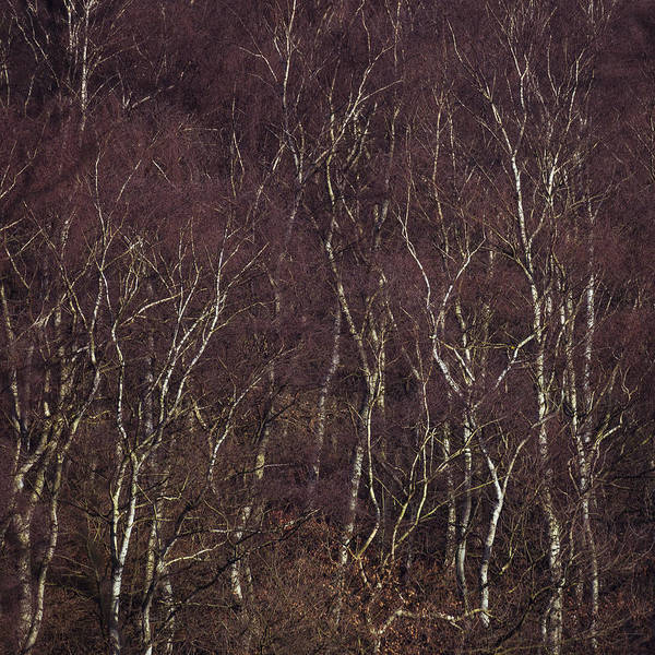 Nottingham Photograph - Patterns Of Birch by Chris Dale