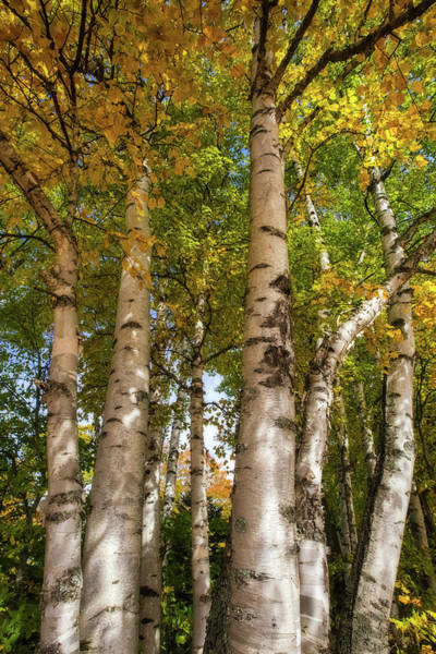 Wall Art - Photograph - Birch Forest by Heather Kenward