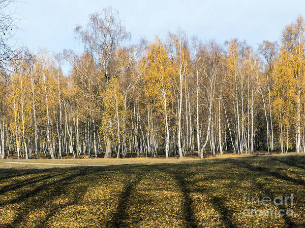 Photograph - Birch Forest In Autumn Colors by Odon Czintos