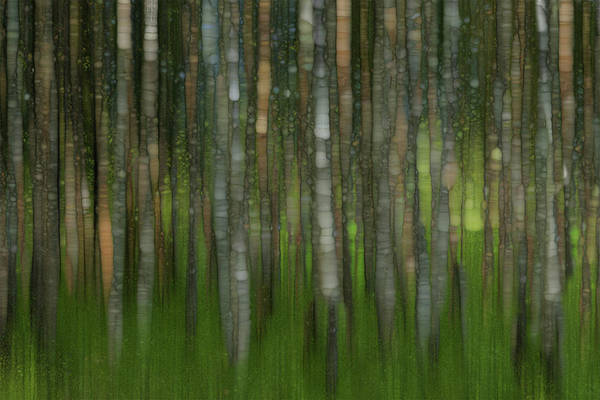 Wall Art - Painting - Birch Forest by Jack Zulli