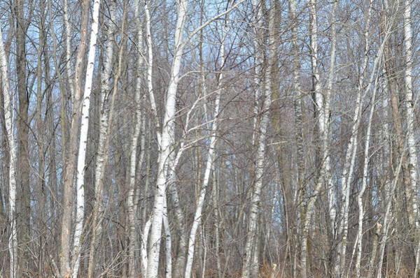 Wall Art - Photograph - Birch Forest by Tammy Mutka