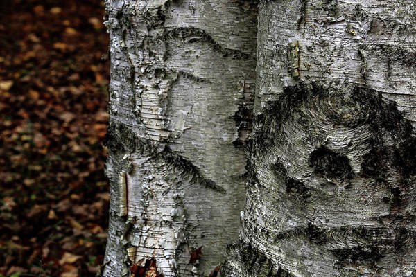Photograph - Birch by Kenneth Campbell