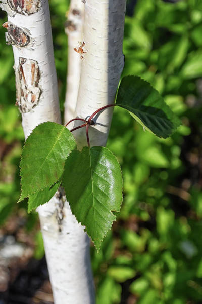 Photograph - Birch by Kuni Photography