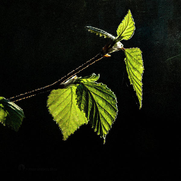 Photograph - Birch Leaf by Fred Denner