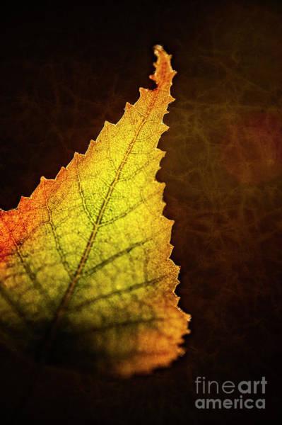 Photograph - Birch Leaf by Scott Kemper
