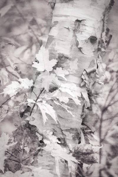 Photograph - Birch Peel by Leda Robertson