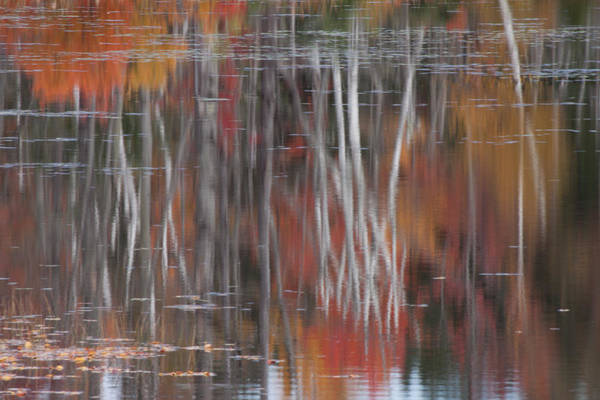 Photograph - Birch Reflection In Pondicherry by Jeff Folger