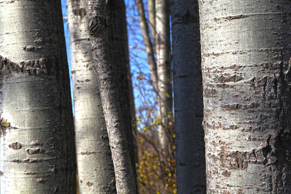 Photograph - Birch by Robert Och