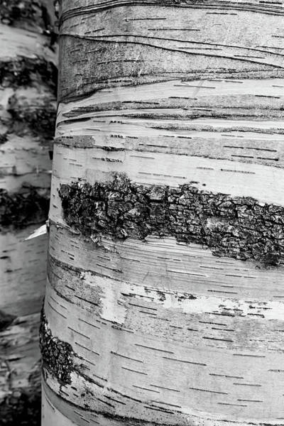Wall Art - Photograph - Birch Tree 1 by Heather Kenward