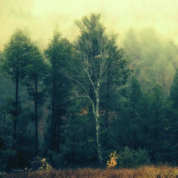 Photograph - Birch Tree by Bob Orsillo