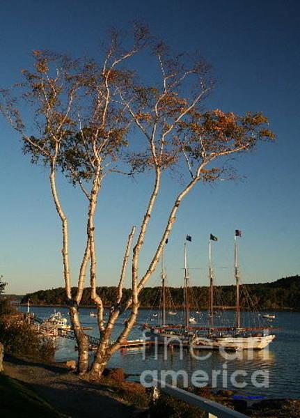 Bar Harbor Digital Art - Birch Tree By The Harbor by Linda Jackson
