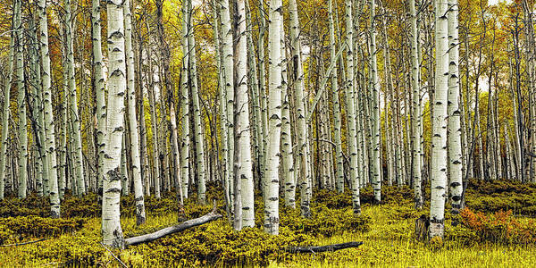Photograph - Birch Tree Forest Panoramic by Randall Nyhof