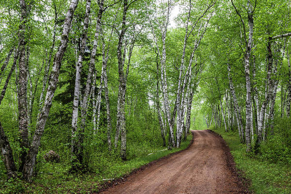 Photograph - Birch Tree Forest Path #2 by Patti Deters