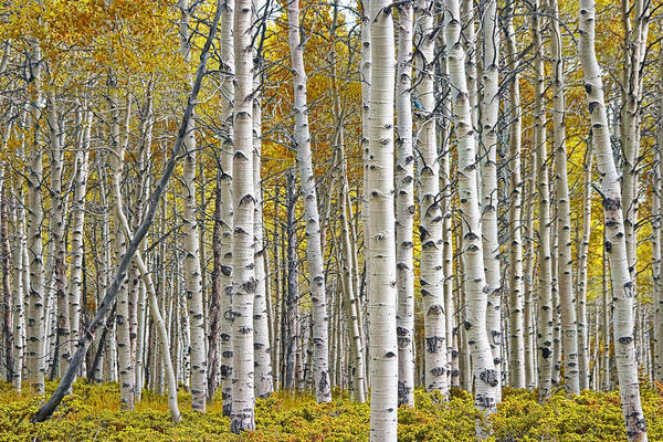 White Birch Trees Wall Art - Photograph - Birch Tree Grove With A Touch Of Yellow Color by Randall Nyhof